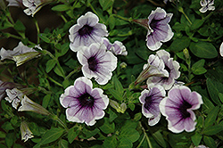 Sweetunia Purple Spotlight Petunia (Petunia 'Sweetunia Purple Spotlight') at The Growing Place