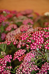 New Vintage Violet Yarrow (Achillea millefolium 'Balvinolet') at The Growing Place