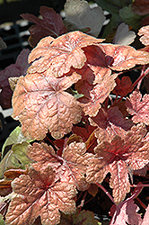 Brass Lantern Foamy Bells (Heucherella 'Brass Lantern') at The Growing Place