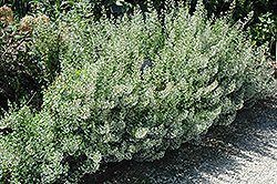 Montrose White Dwarf Calamint (Calamintha nepeta 'Montrose White') at The Growing Place
