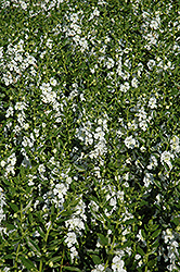 Angelface® White Angelonia (Angelonia angustifolia 'Angelface White') at The Growing Place