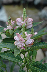 Turtlehead (Chelone glabra) at The Growing Place