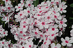 White Eye Flame Garden Phlox (Phlox paniculata 'White Eye Flame') at The Growing Place