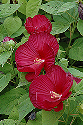 Luna Red Hibiscus (Hibiscus moscheutos 'Luna Red') at The Growing Place