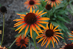 Flame Thrower Coneflower (Echinacea 'Flame Thrower') at The Growing Place