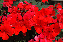 Caliente Orange Geranium (Pelargonium 'Caliente Orange') at The Growing Place