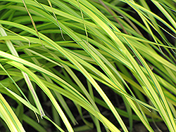 Bowles Golden Sedge (Carex elata 'Bowles Golden') at The Growing Place