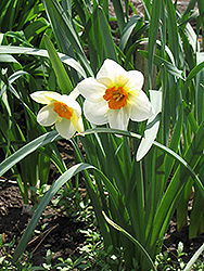 Barrett Browning Daffodil (Narcissus 'Barrett Browning') at The Growing Place