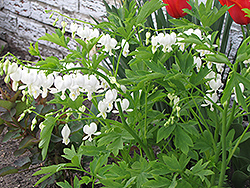 White Bleeding Heart (Dicentra spectabilis 'Alba') at The Growing Place
