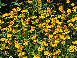 Dwarf Tickseed (Coreopsis auriculata 'Nana') at The Growing Place