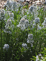 Narrow-Leaf Blue Star (Amsonia hubrichtii) at The Growing Place
