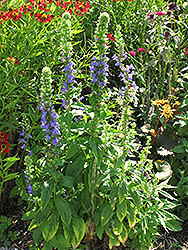 Blue Cardinal Flower (Lobelia siphilitica) at The Growing Place