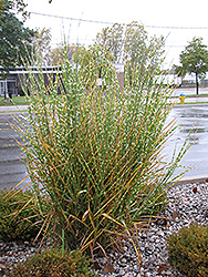 Maiden Grass (Miscanthus sinensis 'Strictus') at The Growing Place