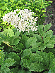Chestnut Rodgersia (Rodgersia aesculifolia) at The Growing Place