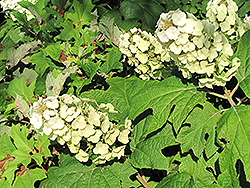 Snow Queen Hydrangea (Hydrangea quercifolia 'Snow Queen') at The Growing Place