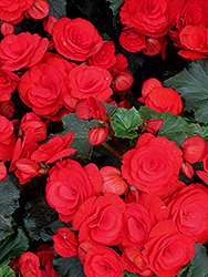 Nonstop® Red Begonia (Begonia 'Nonstop Red') at The Growing Place