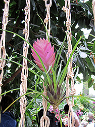 Pink Quill (Tillandsia cyanea) at The Growing Place