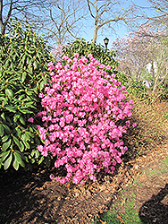 Landmark Rhododendron (Rhododendron 'Landmark') at The Growing Place