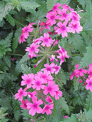 Lanai® Bright Eye Verbena (Verbena 'Lanai Bright Eye') at The Growing Place