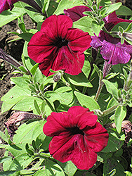 Madness Burgundy Petunia (Petunia 'Madness Burgundy') at The Growing Place