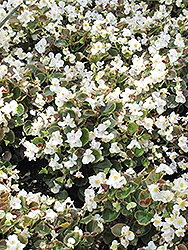 Bada Boom® White Begonia (Begonia 'Bada Boom White') at The Growing Place