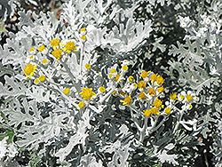 Silver Dust Dusty Miller (Senecio cineraria 'Silver Dust') at The Growing Place