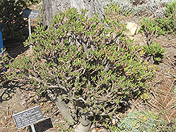 Hobbit Jade Plant (Crassula ovata 'Hobbit') at The Growing Place