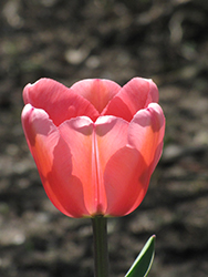 Apeldoorn Tulip (Tulipa 'Apeldoorn') at The Growing Place