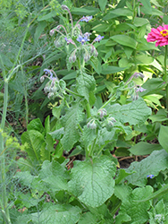 Borage (Borago officinalis) at The Growing Place