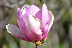 Jane Magnolia (Magnolia 'Jane') at The Growing Place