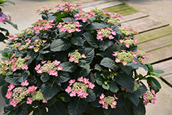 Tuff Stuff™ Red Hydrangea (Hydrangea serrata 'SMNMAKTSR') at The Growing Place