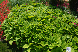 Sweet Caroline Bewitched Green With Envy™ Sweet Potato Vine (Ipomoea batatas 'NCORNSP-020BWGWE') at The Growing Place