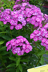 Laura Garden Phlox (Phlox paniculata 'Laura') at The Growing Place