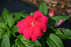 Divine™ Lipstick New Guinea Impatiens (Impatiens hawkeri 'Divine Lipstick') at The Growing Place
