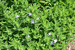 Hairy Wild Petunia (Ruellia humilis) at The Growing Place