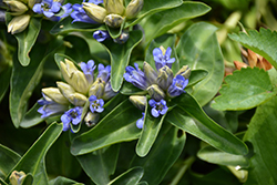 Blue Cross Gentian (Gentiana cruciata 'Blue Cross') at The Growing Place