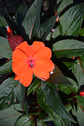 Magnum Orange New Guinea Impatiens (Impatiens 'Magnum Orange') at The Growing Place