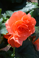 Nonstop® Deep Salmon Begonia (Begonia 'Nonstop Deep Salmon') at The Growing Place