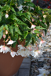 Belleconia™ Snow Begonia (Begonia 'Belleconia Snow') at The Growing Place