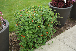 Tangerine Slice A-Peel® Black-Eyed Susan (Thunbergia alata 'DL1501') at The Growing Place