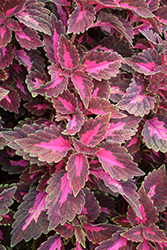 ColorBlaze® Velveteen® Coleus (Solenostemon scutellarioides 'Velveteen') at The Growing Place
