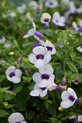 Grape-O-Licious Torenia (Torenia 'Grape-O-Licious') at The Growing Place