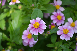 Pretty in Pink™ Bidens (Bidens ferulifolia 'Pretty in Pink') at The Growing Place
