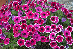 Crazytunia® Passion Punch Petunia (Petunia 'Crazytunia Passion Punch') at The Growing Place
