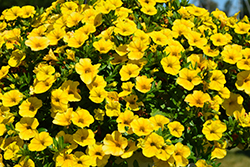 Aloha Nani Golden Girl Calibrachoa (Calibrachoa 'Aloha Nani Golden Girl') at The Growing Place