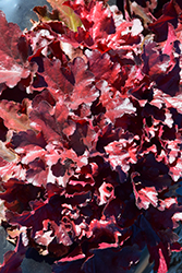 Forever® Red Coral Bells (Heuchera 'Forever Red') at The Growing Place