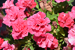 Surfinia® Summer Double™ Salmon Petunia (Petunia 'Surfinia Summer Double Salmon') at The Growing Place