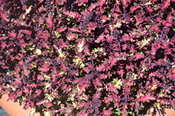 Under the Sea™ Sea Monkey Rust Coleus (Solenostemon scutellarioides 'Sea Monkey Rust') at The Growing Place
