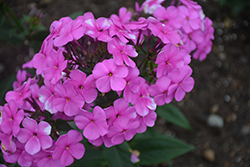 Cloudburst Phlox (Phlox 'Cloudburst') at The Growing Place