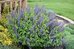 Decadence® Sparkling Sapphires False Indigo (Baptisia 'Sparkling Sapphires') at The Growing Place